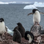 Counting penguins from aerial surveys